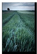 Champs de bl� dans le Kochersberg