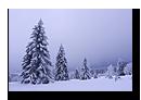 Sapins vosgiens sous la neige, La Serva, Bas-Rhin, Alsace
