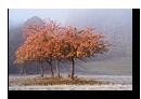 Arbre rougeoyant, Lichtenberg, Bas-Rhin, Alsace, France
