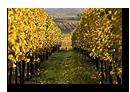 Vignes à proximité de Mittelbergheim